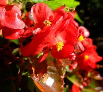 Begonia_2
