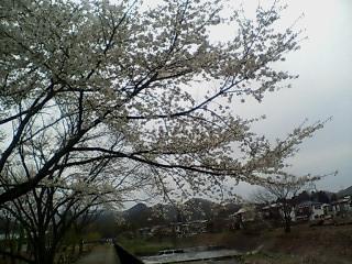 Sakura2007_002