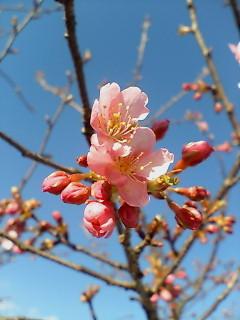 Sakura228_003