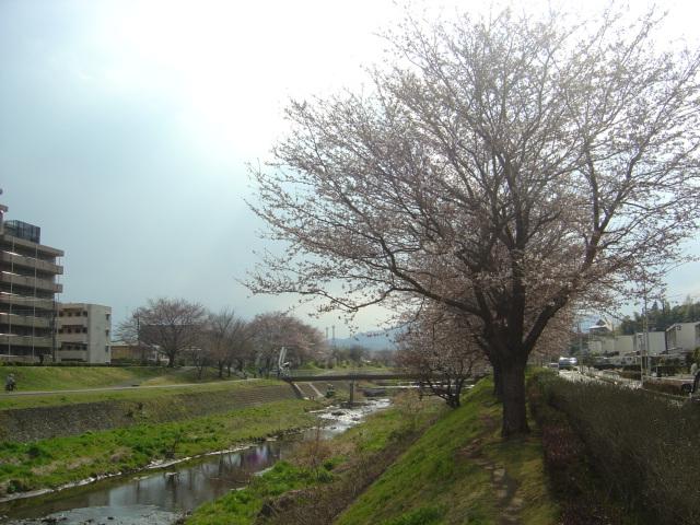 327sakura_004