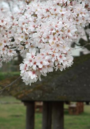 Sakuraie