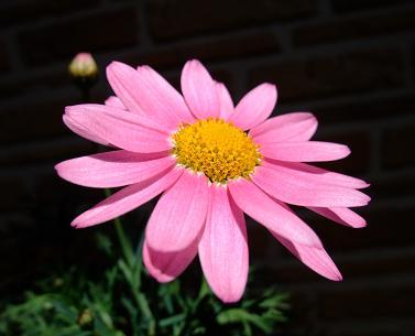 Pinkmaga